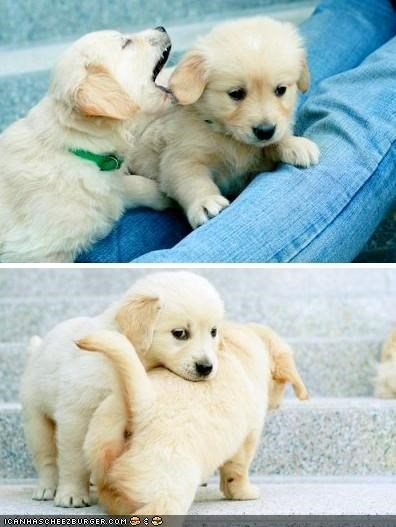 biting,confused,cute,cyoot puppeh ob teh day,definition,puppies,puppy,puppy love