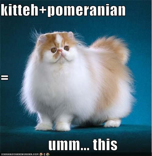 kitteh+pomeranian  =                 umm... this