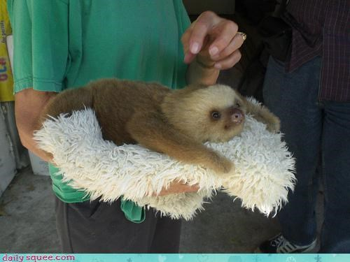 Sloth on a cloth