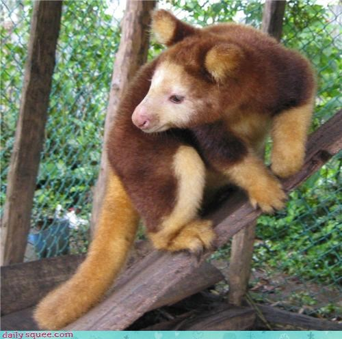 Tree Kangaroo Poses