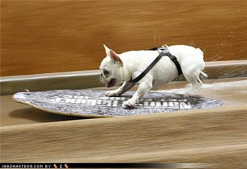 Skimboarding Frenchie!