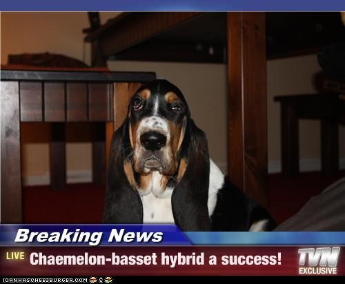 Breaking News - Chaemelon-basset hybrid a success!