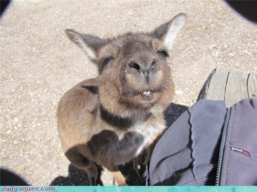 cute,kangaroo,nose,sniff