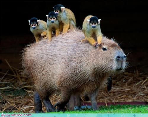 Four Monkeys Riding A Capybara