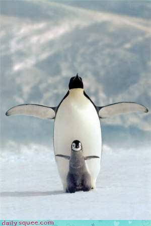 acting like animals,adage,adorable,baby,cute,dad,imitation,intimidating,parent,penguin,protection