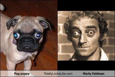 Pug puppy Totally Looks Like Marty Feldman