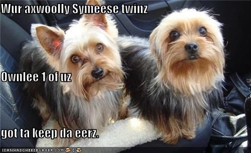 compromise,dogs,earless,ears,separated,siamese twins,twins,two,yorkshire terrier,yorkshire terriers