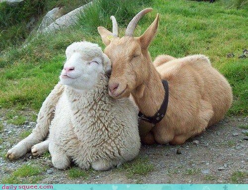 cuddles,goat,Interspecies Love,sheep,smile,squee