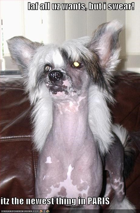 chinese crested,couch,haircut,looking good,style