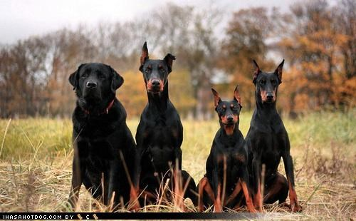 apologies,black,doberman pinscher,german pinscher,labrador,themed goggie week