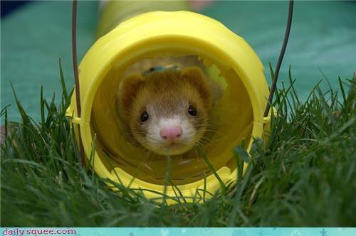 Peek-a-Boo Ferret