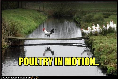 bridge,caption,captioned,chicken,chickens,motion,movement,poetry,poultry,pun,walking