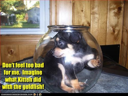 cat,do not want,evil,Fishbowl,goldfish,kitteh,not,pity,puppy,trapped,upset,whatbreed