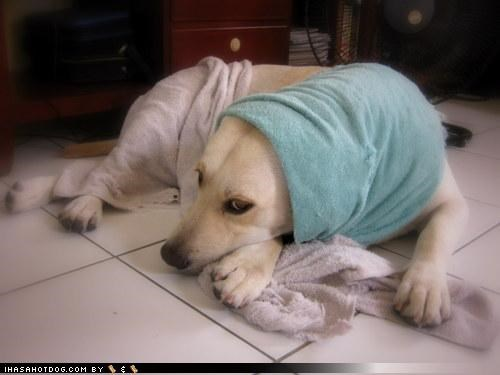 babushka,babushkas,cliché,has,has not,joke,labrador,the old country,themed goggie week,towel,towels