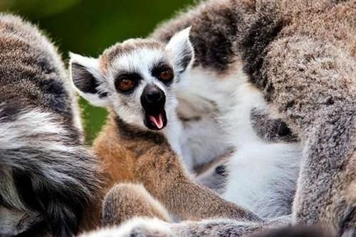 raspberry,tongue,lemur,squee