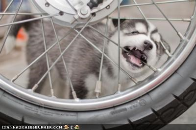 begging,bicycle,biting,cute,cyoot puppeh ob teh day,husky,noms,puppy,spokes,wheel