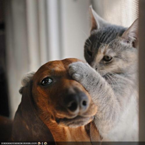 cat,covering,cute,dachshund,eye test,friendship,kittehs r owr friends,line,paw,three,try