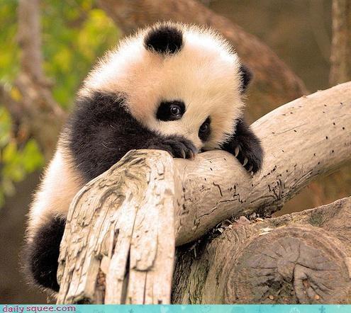 Daily Squee: Fluffy Panda Cub