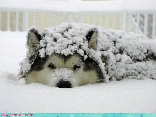 Snow Drift Wolf