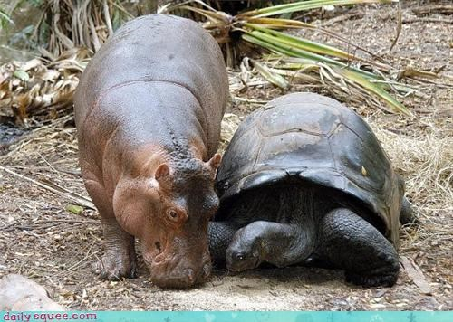 best friends,hippo,Interspecies Love,noms,turtle