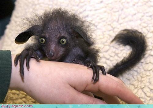 aye aye,black,claws,creepicute,floofy,lemur,superstition