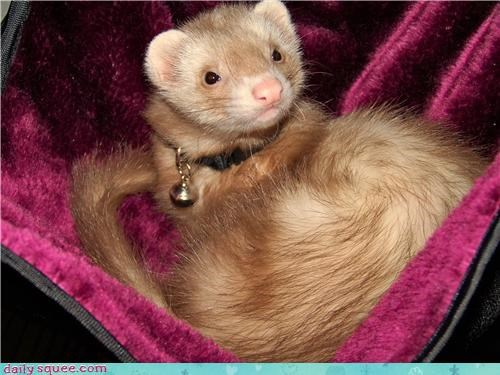 Kiara the ferret