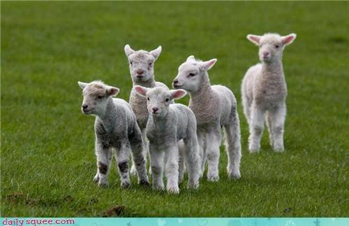 baby,counting sheep,insomnia,lamb,sheep