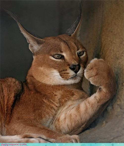 paws,ears,caracal,claws,squee
