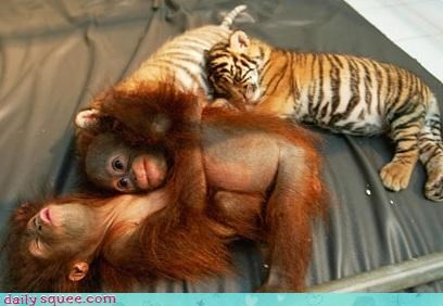 squee,Interspecies Love,tigers,orangutans,ape,napping,cuddling