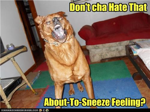 about to,almost,dislike,do not want,feeling,hate,labrador,mixed breed,no fun,pending,pit bull,pitbull,sensation,sneeze