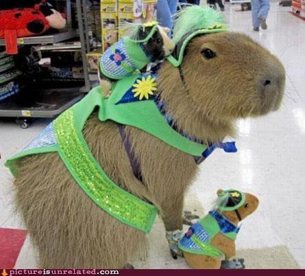 animals,cute,guinea pigs,photobomb,so cute,various sizes,wtf