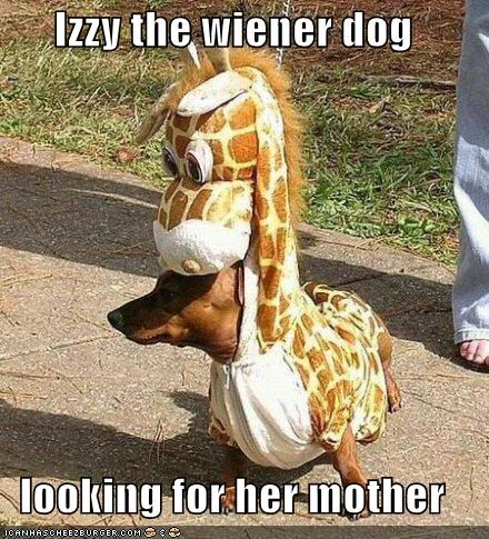 Izzy the wiener dog  looking for her mother