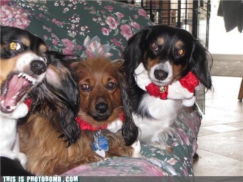 animals,attack,dachshund,dogs,fierce,photobomb