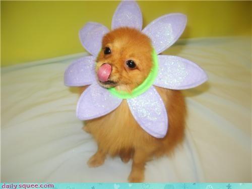 Tutu the Pomeranian ^_^
