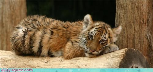 cat,Day of Rest,kitten,kitty,nap,tiger