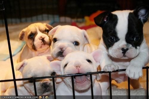 antsy,biting,bulldog,cage,cyoot puppeh ob teh day,defiance,energetic,excited,french bulldogs,happy,litter,playing,puppies,puppy