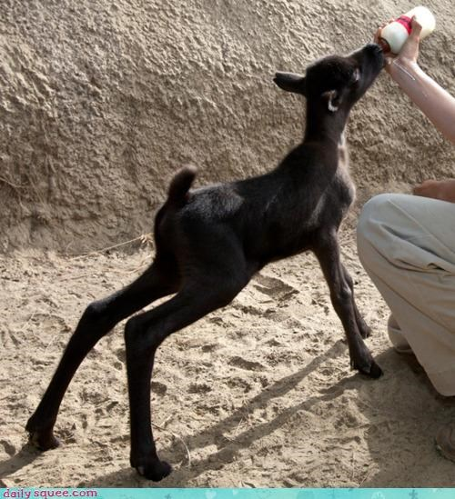 animal,baby,cute,milk,noms,nurse,reindeer,vote