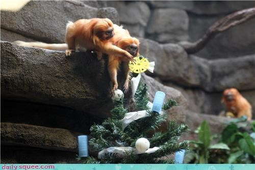 Holiday Reader Squee: Golden Tamarin Christmas