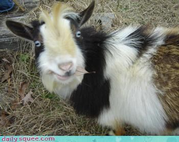 Reader Squee: Happy Goat