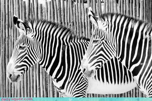 Acting Like Animals: Contrast, Thy Name is Zebra