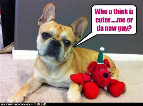 answer,comparison,competing,demanding,french bulldogs,me,new guy,question,stuffed animal