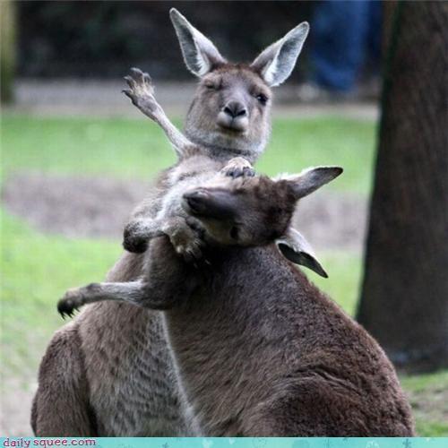 cute,fight,kangaroo,slap