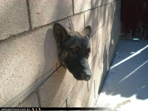 appropriate,embarrassed,funny,german shepherd,name,puppy,rebel,rebellion,Sad,stuck,wall