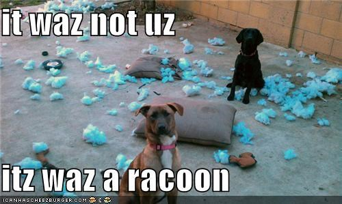 it waz not uz  itz waz a racoon