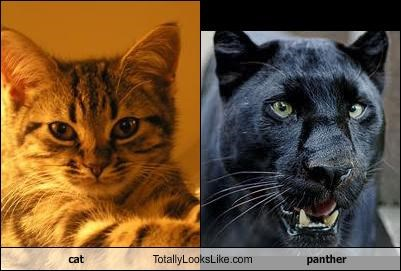 cat Totally Looks Like panther