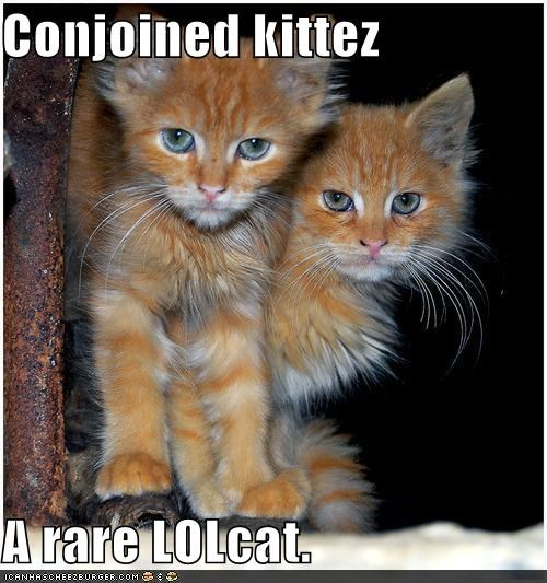 Conjoined kittez  A rare LOLcat.