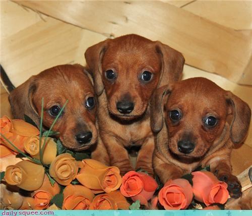 Dachshund puppies - Cheezburger