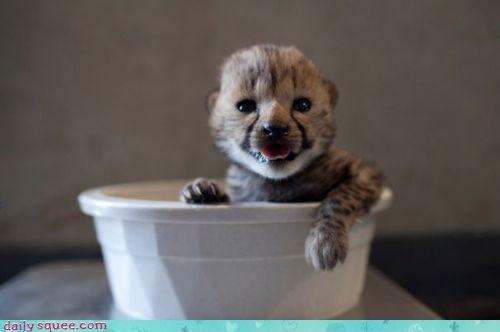 acting like animals,bowl,cheetah,cub,cute,dish,ego,flirting,hanging out,pickup line,playa,self-centered,suavé,water dish