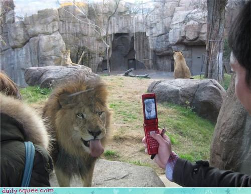 acting like animals,camera,lion,Photo,photography,posing,taunting,tongue,tourist