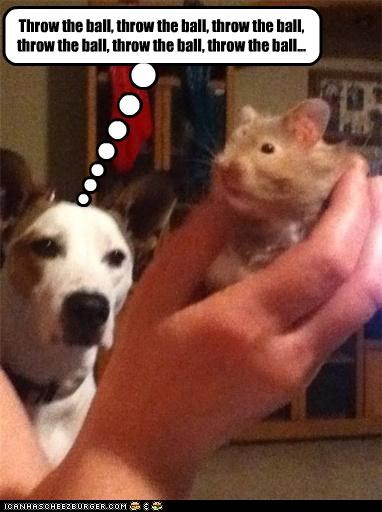 afraid,ball,begging,Command,desire,do want,Hall of Fame,hamster,impatient,jack russell terrier,misinterpretation,not,throw